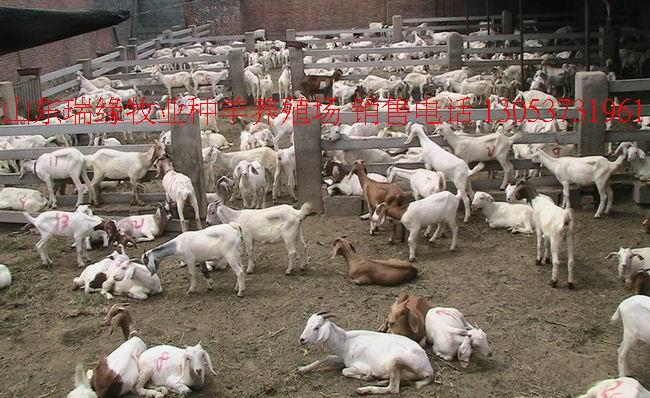 养羊基地,小尾寒羊,波尔山羊,杜泊绵羊,羊的养殖,羊的品种,养羊,羊的价格