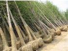 山东济宁嘉祥苗圃种植基地提供国槐价格|国槐树|银杏|白蜡树|