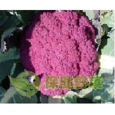 保健蔬菜 紫花菜 紫色花椰菜种子