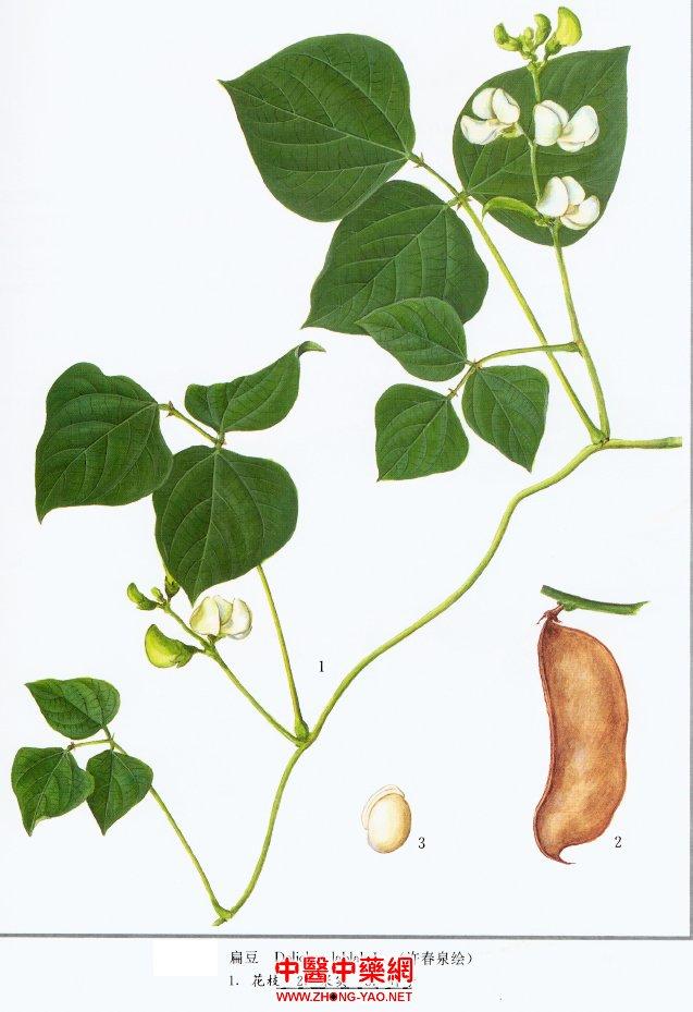 白扁豆提取物