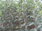 供应山西优质123苹果苗苹果苗苹果苗苹果苗苹果苗苹果苗苹果苗价格