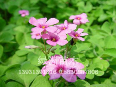 绿洲苗圃为您提供优质红花酢浆草