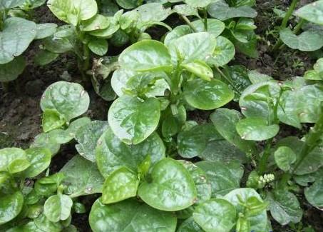 木耳菜种子 落葵