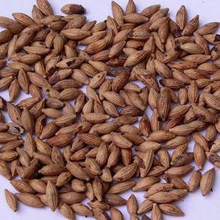 早熟禾种子、高羊茅种子、黑麦草种子、狗牙根种子、白花.红花三叶草