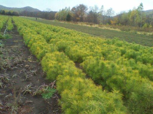 供应:落叶松种子.云杉种子.樟子松种子.红松种子.樟子松云杉大小