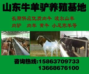 山西小牛犊价格 山西黄牛犊多少钱一头 山西肉牛幼牛价钱