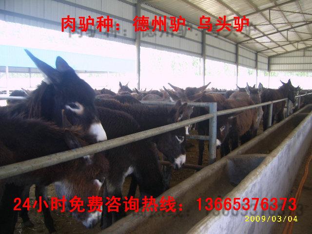 山东德州毛驴价格,山东乌头驴苗多少钱一斤,山东肉驴养殖基地