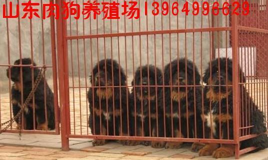 肉狗价格 肉狗养殖技术 肉狗得病怎么办 养狗效益怎么样