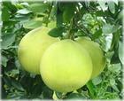 2012葡萄柚提取物--系列产品:葡萄柚籽提取物,信息