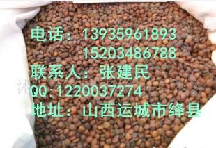 白皮松种子 山西白皮松种子 白皮松种子价格