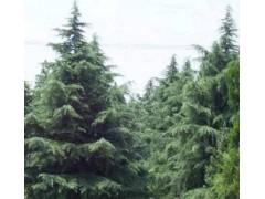 南京棉场苗圃常年低价供应雪松,广玉兰,香樟等各种绿化苗木