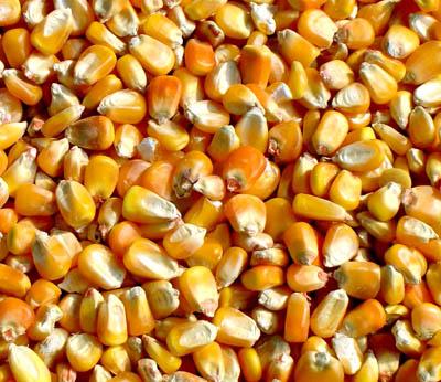 正虹饲料厂采购饲用高梁玉米麸皮小麦
