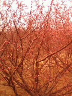 供应山西优质1-15公分的柿子树苹果树