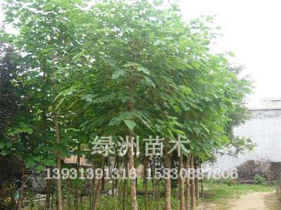 绿洲苗圃场出售8-10-12公分落叶乔木枸树