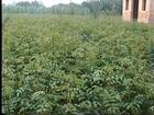 花椒苗大量供应花椒苗