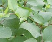 惠瑞生物供应纯天然白藜芦醇