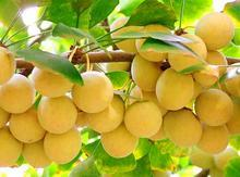 惠瑞生物供应纯天然银杏提取物