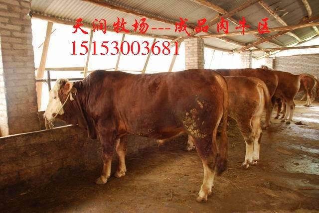 15号什么地方卖夏洛莱牛小牛犊白色的夏洛莱牛怎么饲养