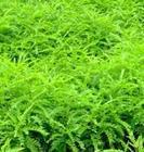 优质皂角苗 大量皂角苗