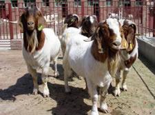 小尾寒羊、杜泊绵羊、波尔山羊、育肥肉羊、