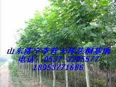 法国梧桐树适合种植在什么土壤里