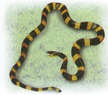 金环蛇蛇苗