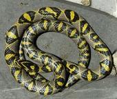 玉斑锦蛇蛇苗