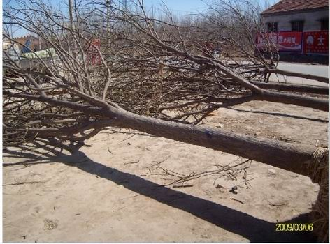 供应12-15公分白腊,树形和分枝点一致,一级树形300棵_