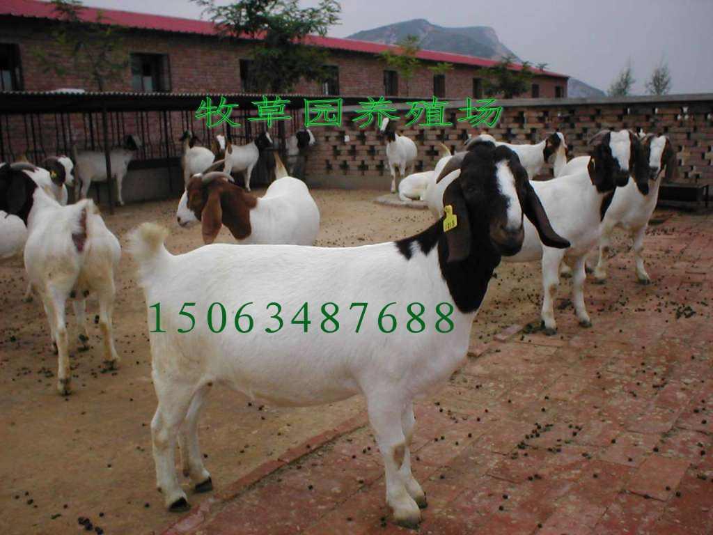 买多大的利木赞牛好养殖 哪里有利木赞牛养牛场卖小牛犊15号