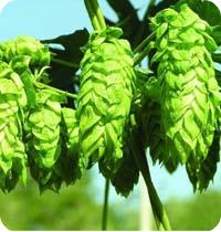 厂家 供应 啤酒花提取物 总黄酮