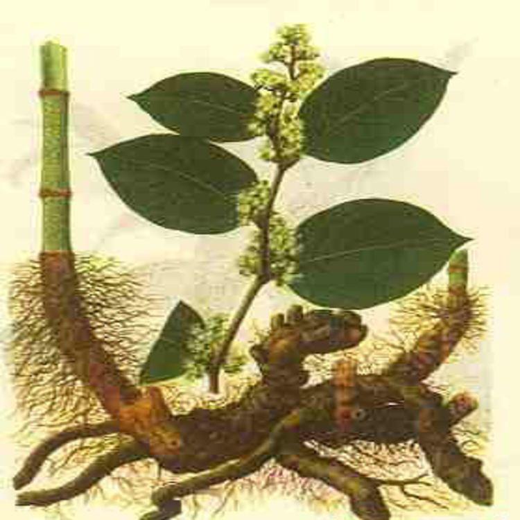 虎杖提取物 Resveratrol 白藜芦醇98%