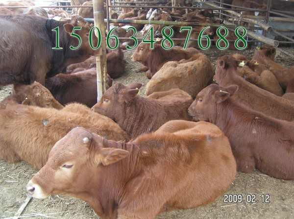 养殖母牛去山东哪里的养牛场出售种牛价格低25号
