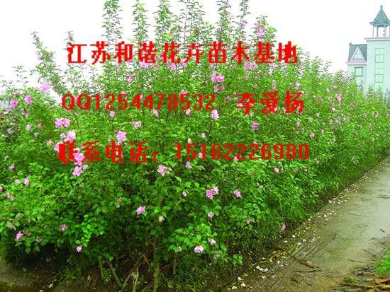 江苏木槿价格木槿小苗1米木槿小苗价格