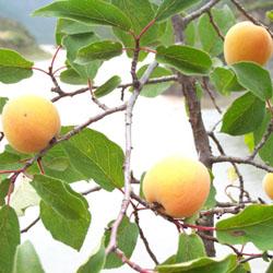 厂家供应苦杏仁提取物,苦杏仁甙,扁桃苷,苦杏仁苷