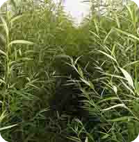 现货 白柳皮提取物 水杨甙 水杨苷