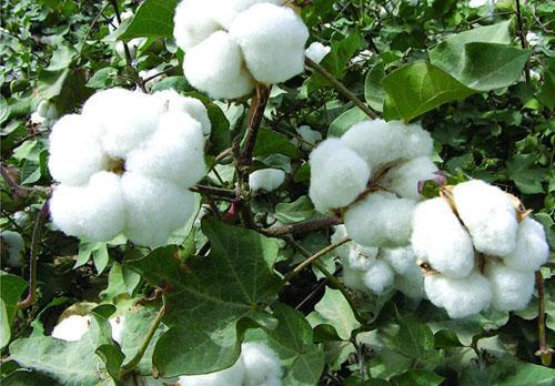 厂家 供应 棉籽提取物 棉酚 醋酸棉酚