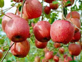 矮化苹果苗 富士苹果苗 乔化苹果苗