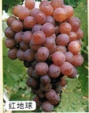 红提葡萄苗 品种葡萄苗 葡萄苗求购