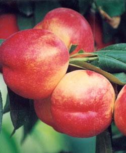 优质桃树苗 大量桃树苗 油桃桃树苗