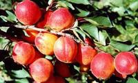 优质杏树苗 求购杏树苗 大量杏树苗