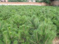供应油松苗 优质油松苗 大量油松苗