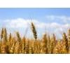 采购玉米、大豆、高梁、大、小麦、粕类