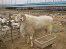 肉驴 肉牛 小尾寒羊山东鲁星牧业牛羊养殖基地