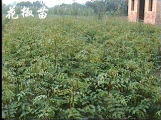 山西花椒苗,花椒苗价格,花椒苗供应