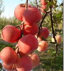 烟台红康斯苹果