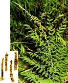 金雀花碱  Cytisine