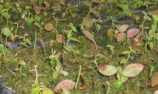 苔藓水苔、干苔藓蓝莓移栽、扦插、育苗栽培基质
