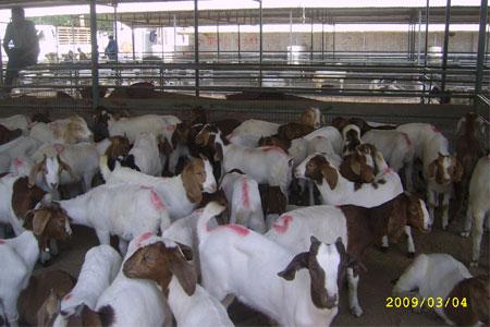 供应大量纯种波尔山羊种羊育肥羊种羊价格