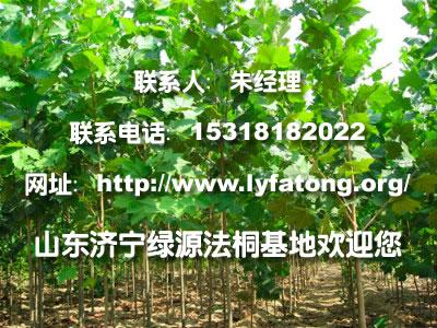 法桐埋根种植|法桐价格咨询-济宁绿源法桐苗木基地