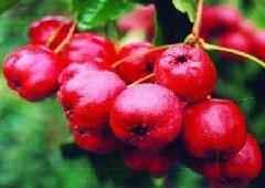 供应山西大金星山楂,核桃,苹果,柿子